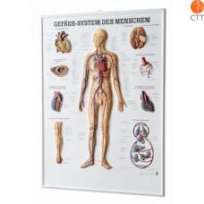 Relieftafel Gefässsystem, 54 x 74cm, 3-D-Relief-Poster